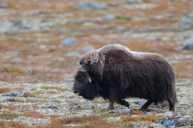 De stier van de muskusos in de herfstlandschap stock fotografie