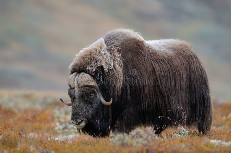 De stier van de muskusos kijkt in de herfstlandschap stock foto