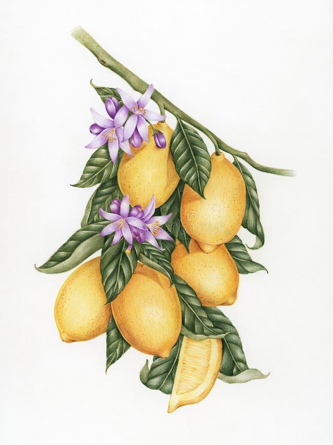 De stijl van de illustratietekening van citroen vector illustratie