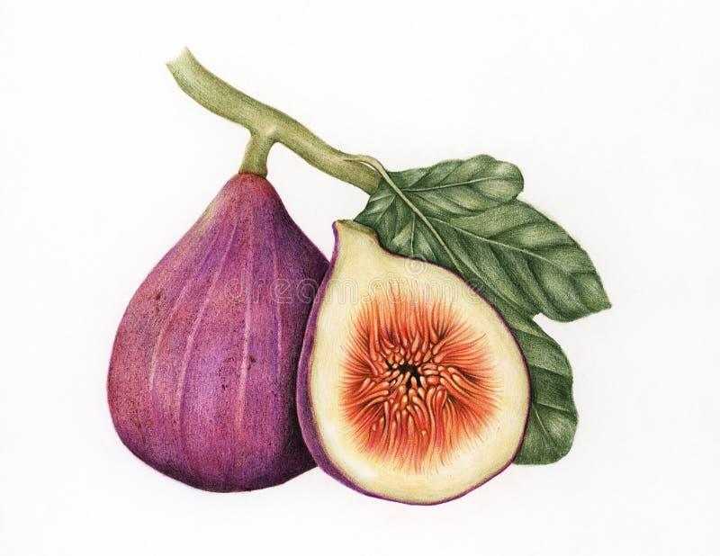 De stijl van de illustratietekening van fig. vector illustratie