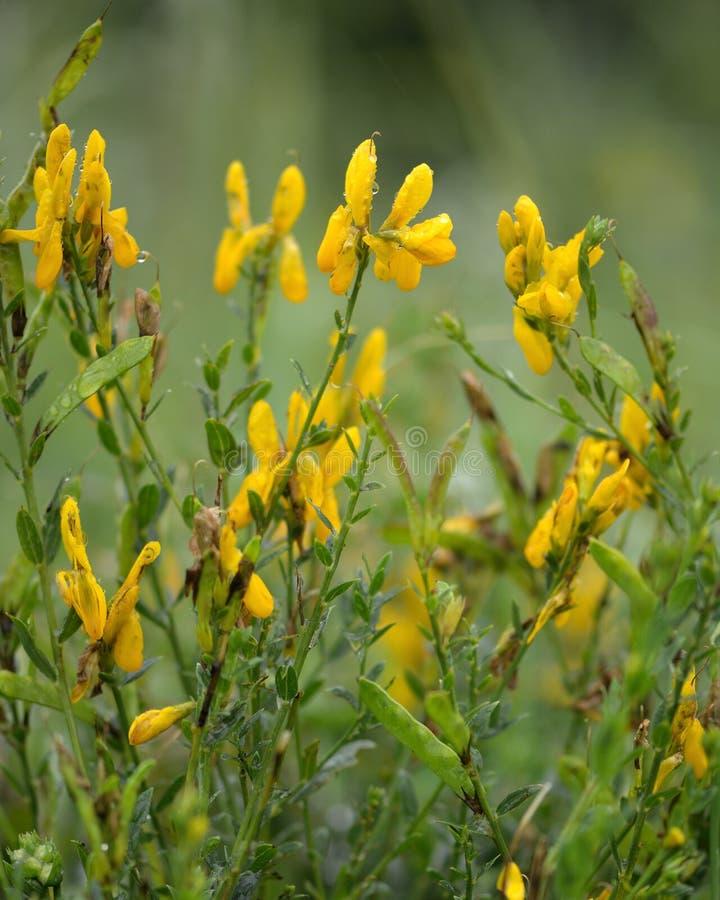 De stoffenverver greenweed (Genista-tincoria) in bloem stock afbeeldingen