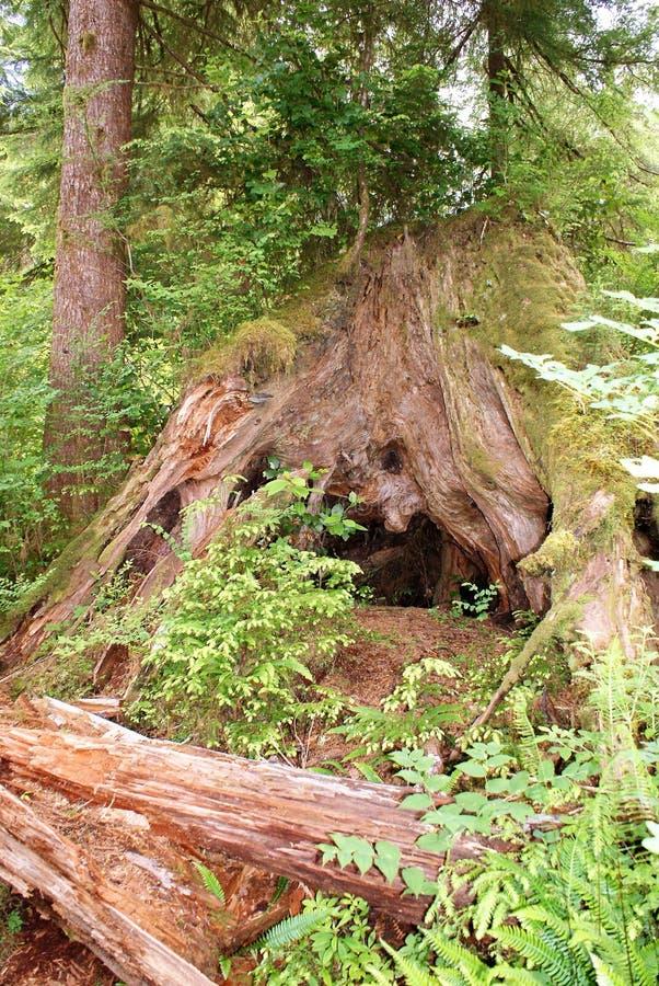 De stomp van het verpleegsterslogboek in Olympisch Nationaal Park steunt nieuwe bomen stock fotografie