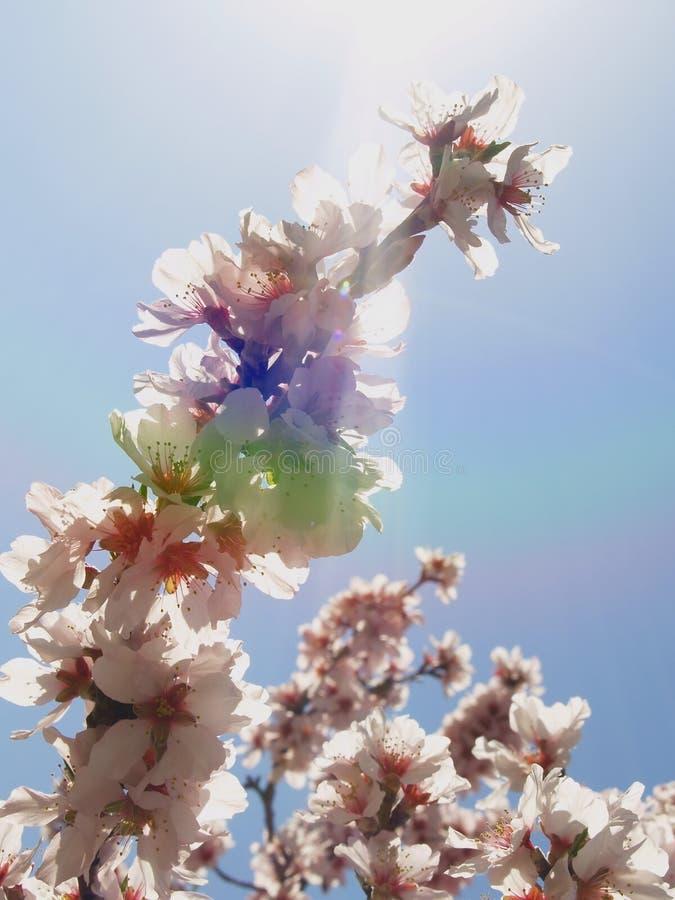 De straal van de zon door amandelbloem stock afbeelding