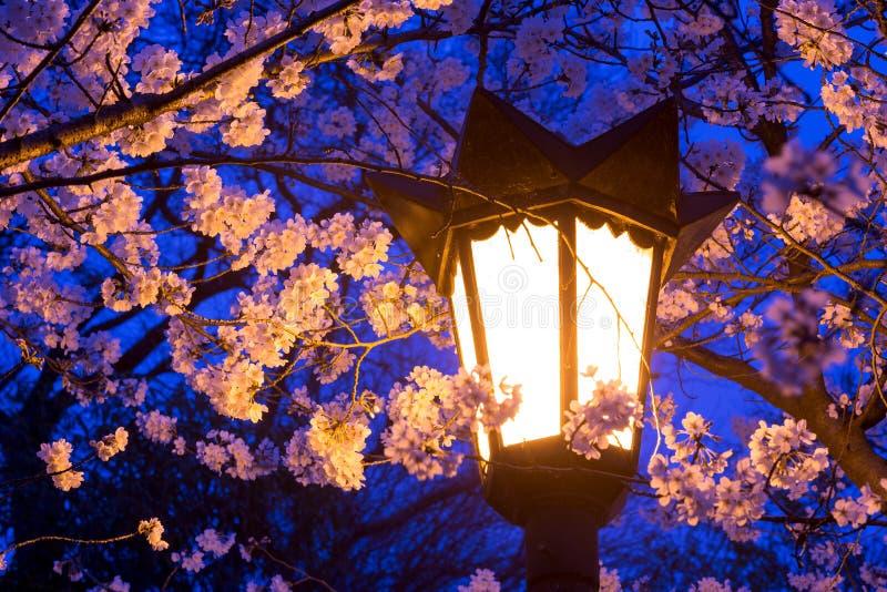 De straatlantaarns verlichten kersenbloesems royalty-vrije stock afbeelding