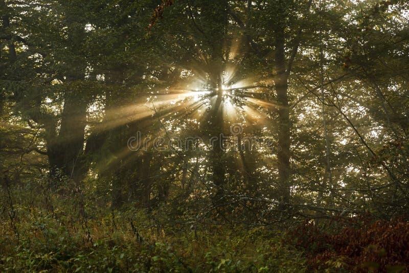 De stralen die van de zon door de bomen in het mistige bos glanzen stock afbeeldingen