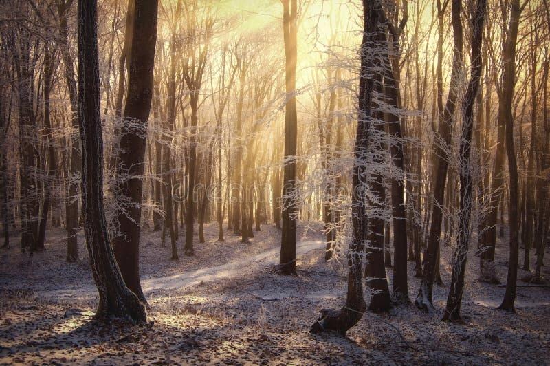 De stralen van de zon in een bevroren bos met mist royalty-vrije stock afbeeldingen