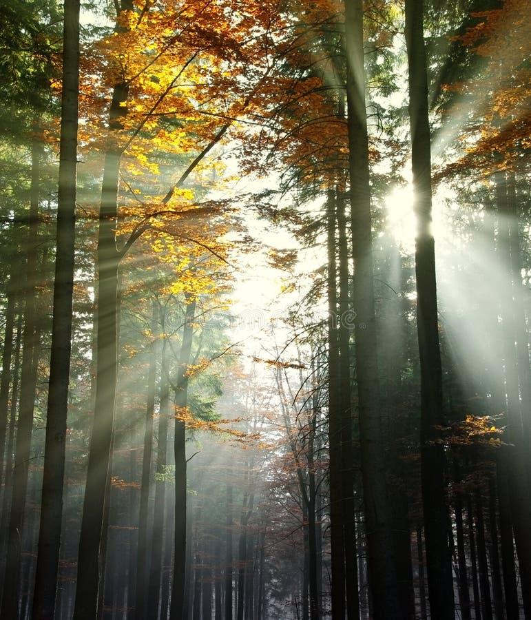 De stralen van de zon in een de herfsthout stock foto