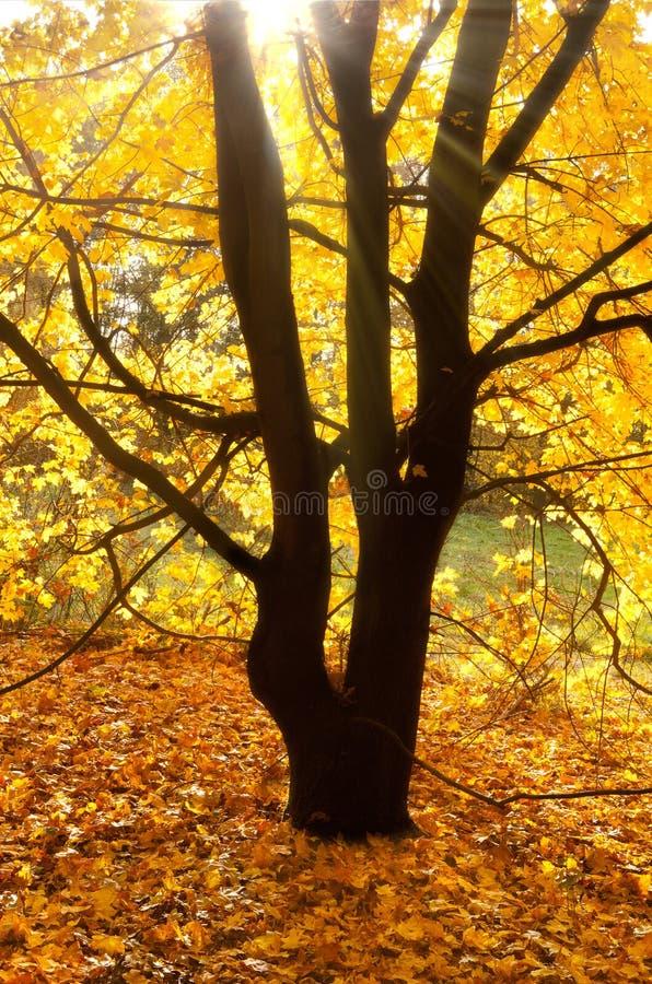 De stralen van de zon op een de herfstboom stock fotografie