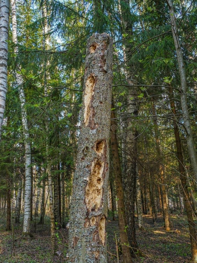 De stralen van de zon verlichten de oude gebroken boom in een dicht bos royalty-vrije stock afbeeldingen