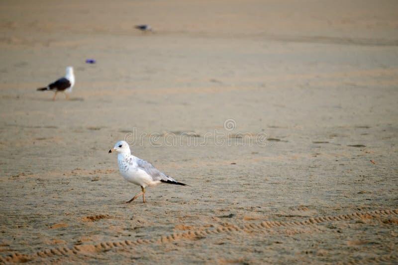 De de strandbewoners/zeemeeuwen stock afbeelding