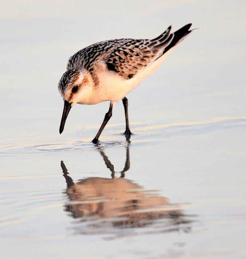 De strandloper blijft ooit waakzaam voor roofdieren aangezien het huntsforprooi royalty-vrije stock fotografie