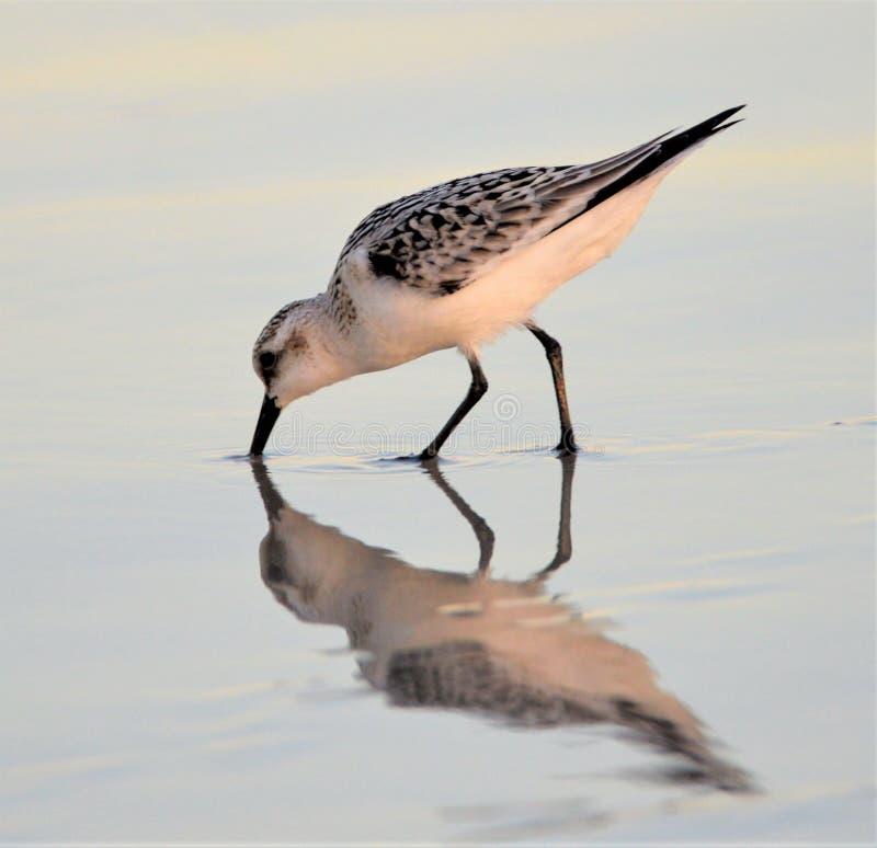 De strandloper is waakzaam niet alleen voor voedsel maar voor andere roofdieren stock foto