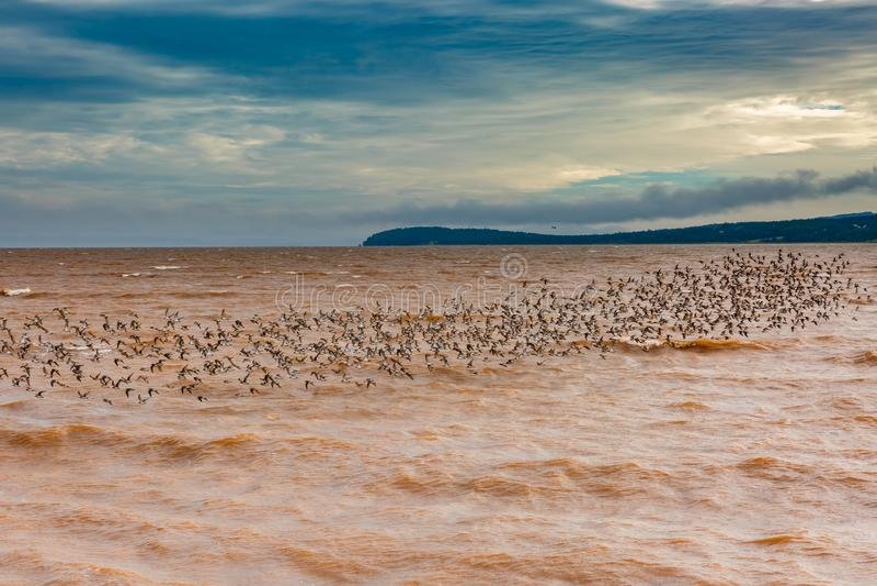 De strandlopers zijn terug naar Dorchester, New Brunswick, Canada stock afbeelding