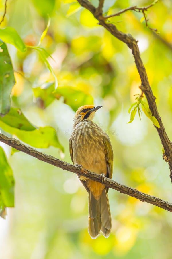 De stro-Geleide vogel Bulbul stock foto's