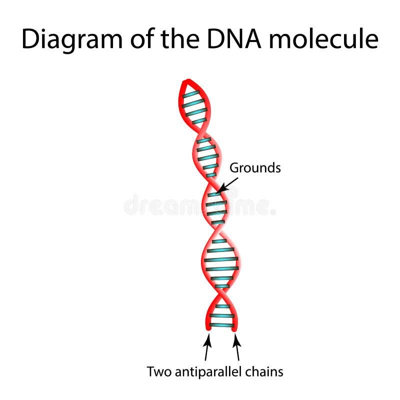 De structuur van de DNA-molecule Infographics Vectorillustratie op achtergrond vector illustratie