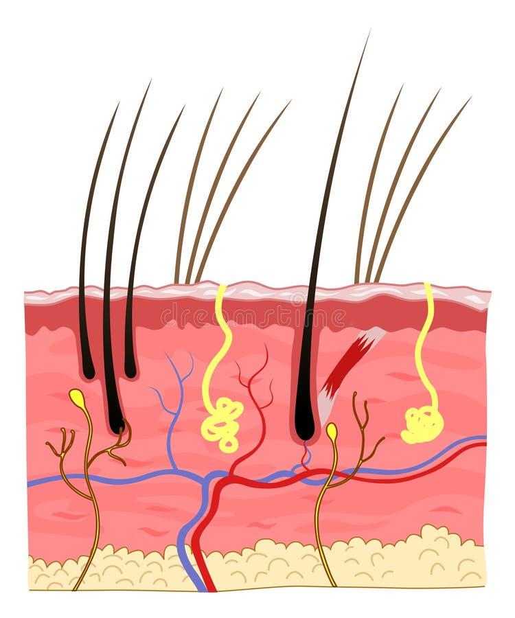 De structuur van de kattenhuid stock illustratie