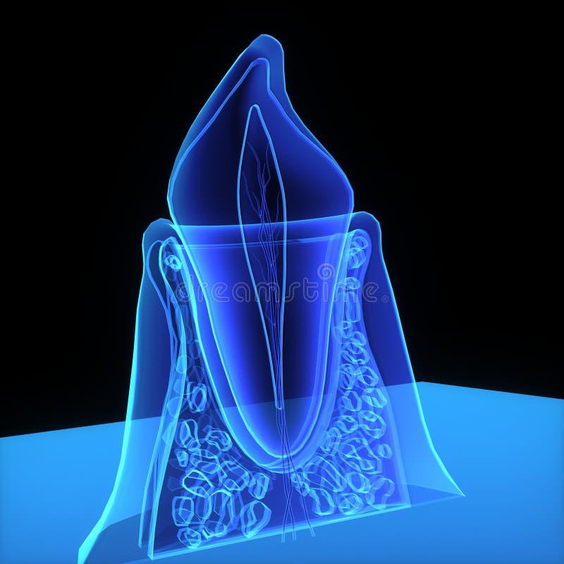De structuur van de tand royalty-vrije illustratie