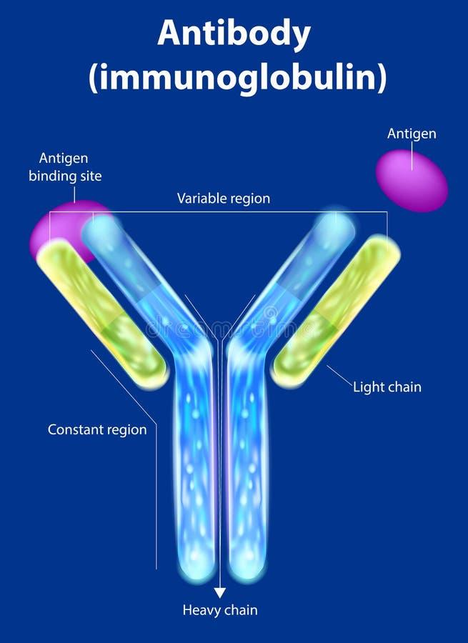 De structuur van het antilichaam vector illustratie