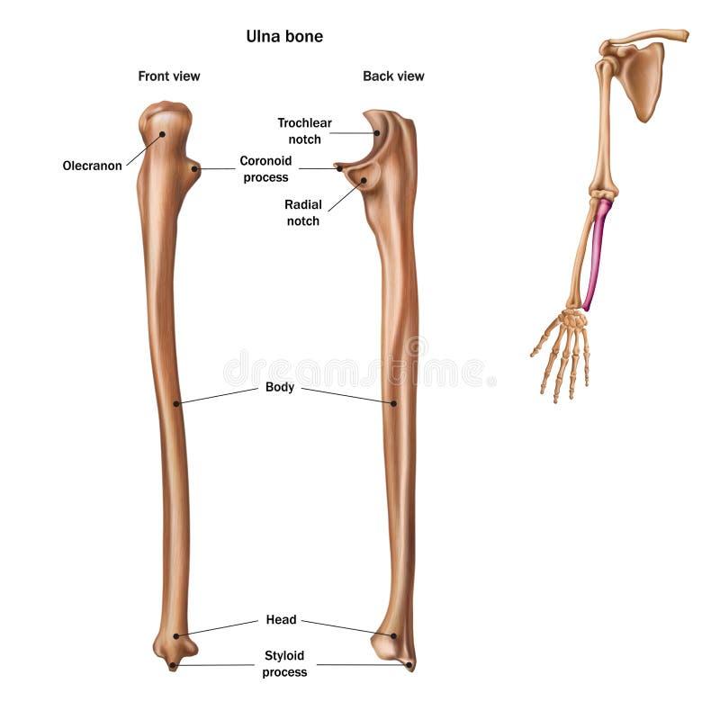 De structuur van het ellepijpbeen met de naam en de beschrijving van alle plaatsen Achter en vooraanzicht stock illustratie