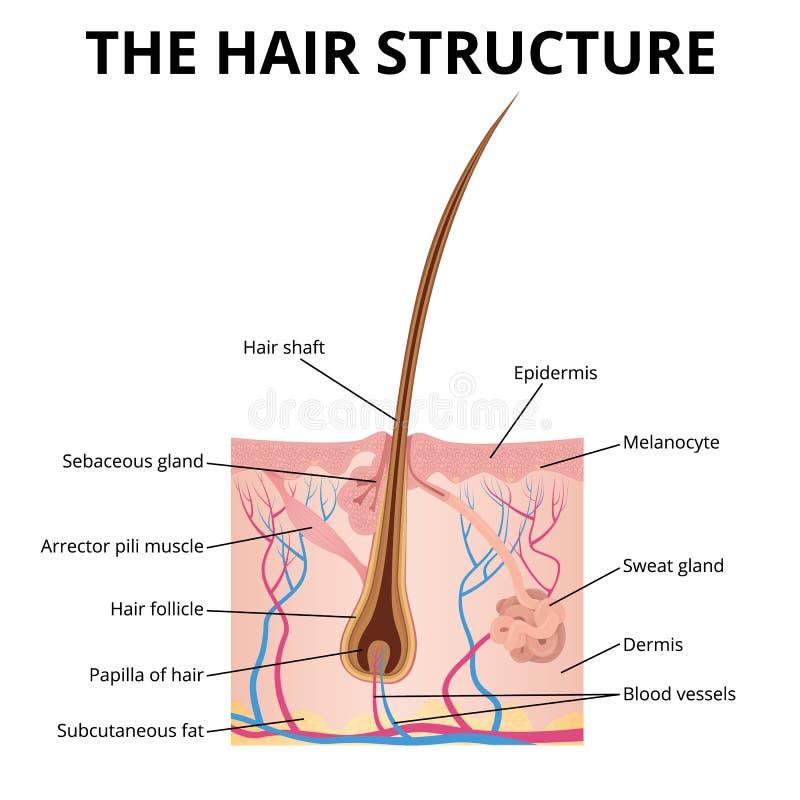 De structuur van het haar stock illustratie
