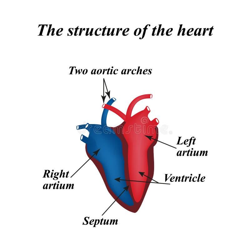 De structuur van het hart Infographics Vector illustratie royalty-vrije illustratie