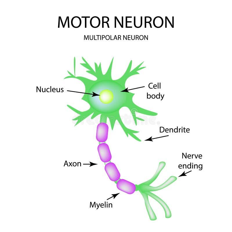 De structuur van het motorneuron Infographics Vectorillustratie op geïsoleerde achtergrond vector illustratie