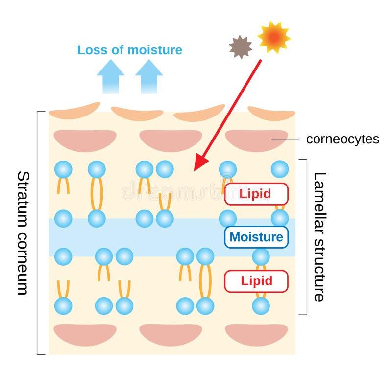 De structuur van laagcorneum en de gelamelleerde structuur, die de beschermende rol voor huidbarrière spelen functioneren Schoonh royalty-vrije illustratie