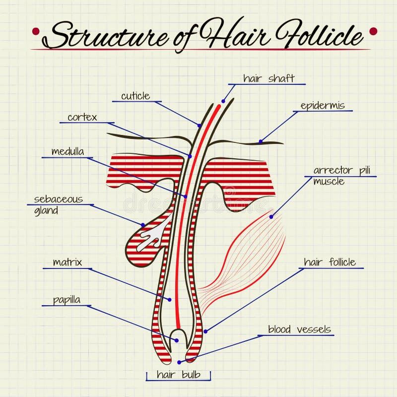 De structuur van menselijk haar vector illustratie