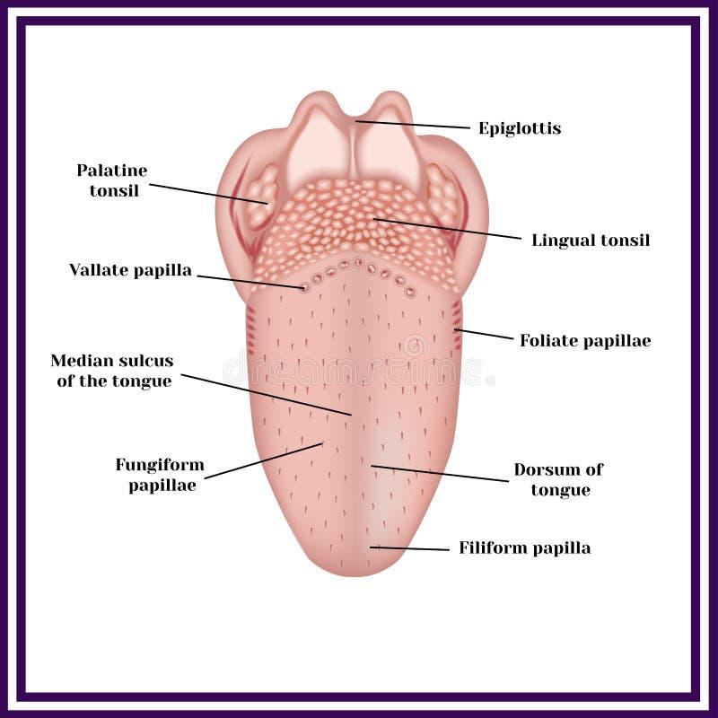 De structuur van menselijke tong vector illustratie