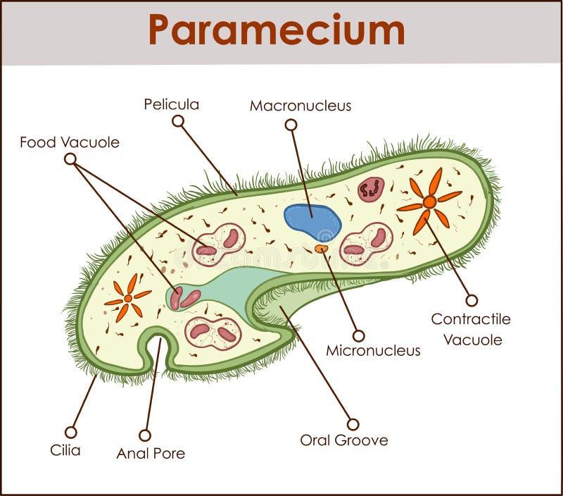 De structuur van Paramecium-saudatum vector illustratie