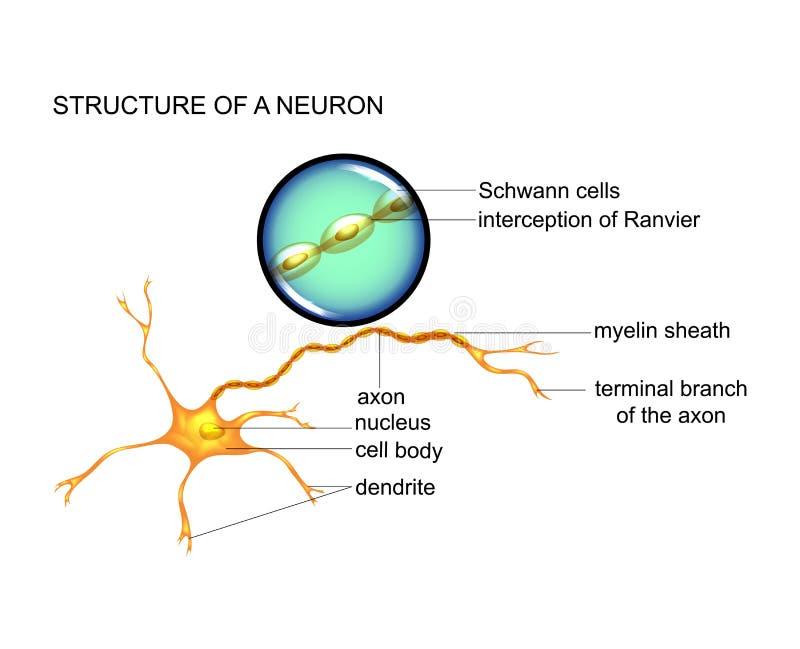 de structuur van de zenuwcel royalty-vrije illustratie