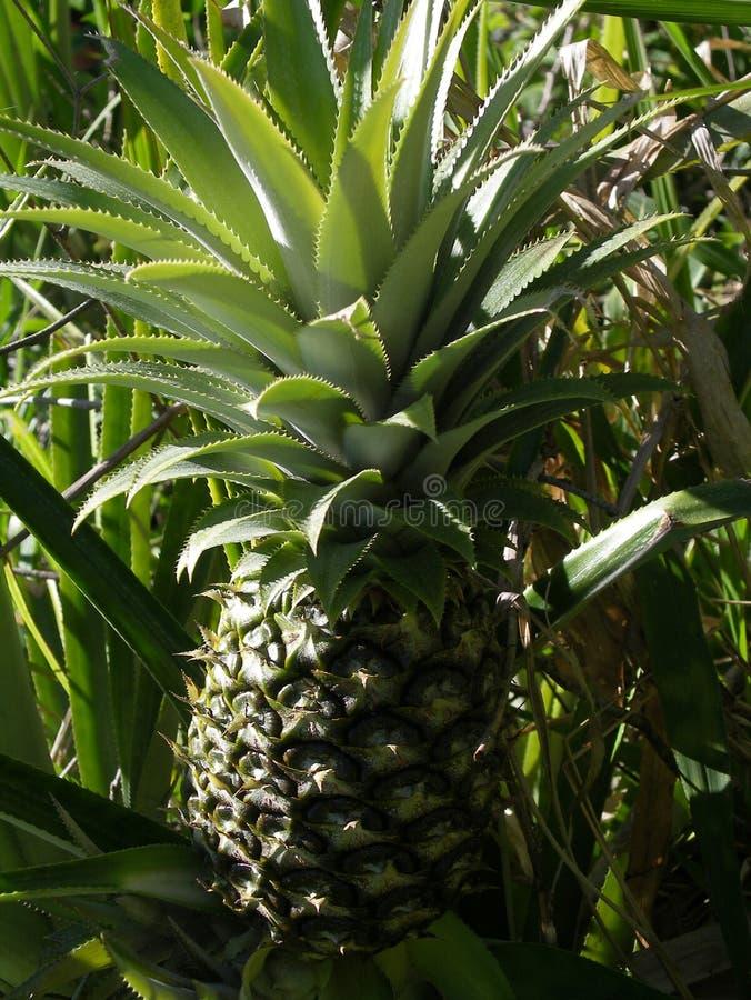 De Struik van de ananas royalty-vrije stock foto's