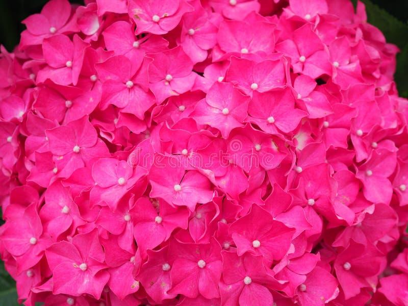 De struik van hydrangea hortensiabloemen Roze hydrangea hortensia Huistuin van hydrangea hortensia Het mooie bloeien van Macrophy stock fotografie