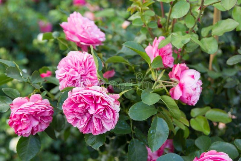 De struik van roze nam in het gebladerte toe stock fotografie