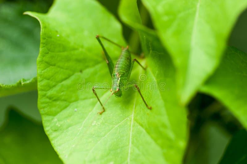 De struikveenmol van het insectportret stock afbeeldingen
