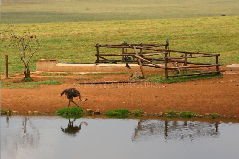 De struisvogel bij waterpool royalty-vrije stock fotografie