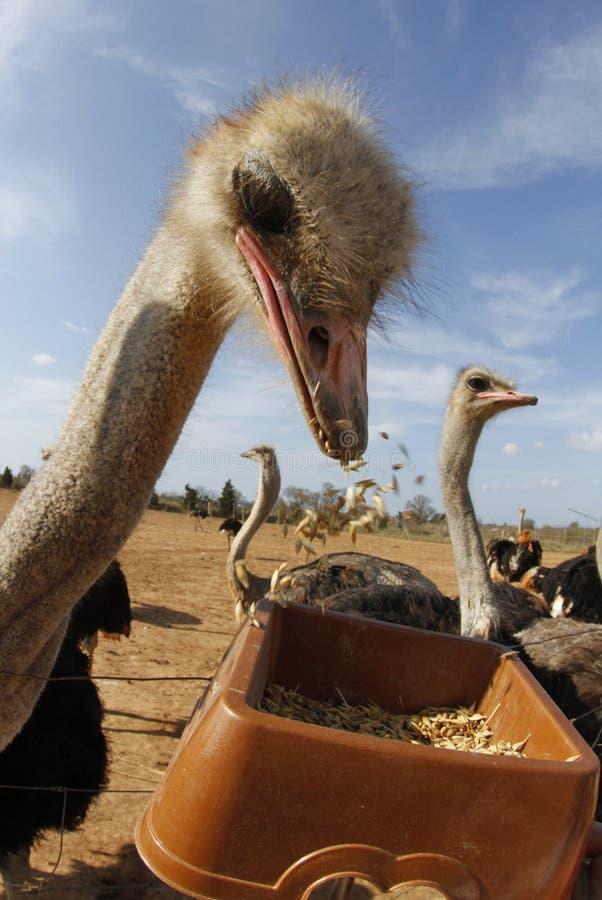 De struisvogel feeded op een landbouwbedrijf stock foto's