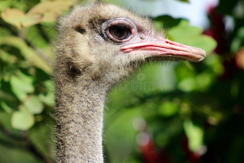 De Struisvogel of de Gemeenschappelijke Struisvogelogen stock afbeeldingen