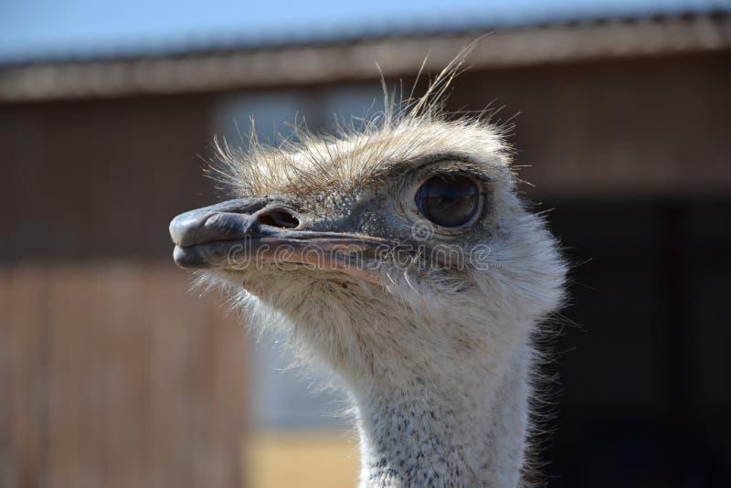De struisvogel let op u stock afbeelding