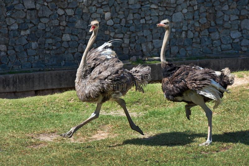De struisvogel loopt in de aard stock afbeeldingen