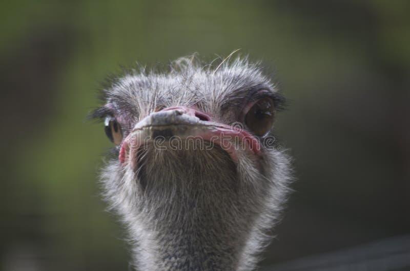 De Struisvogel van de struisvogel head royalty-vrije stock fotografie