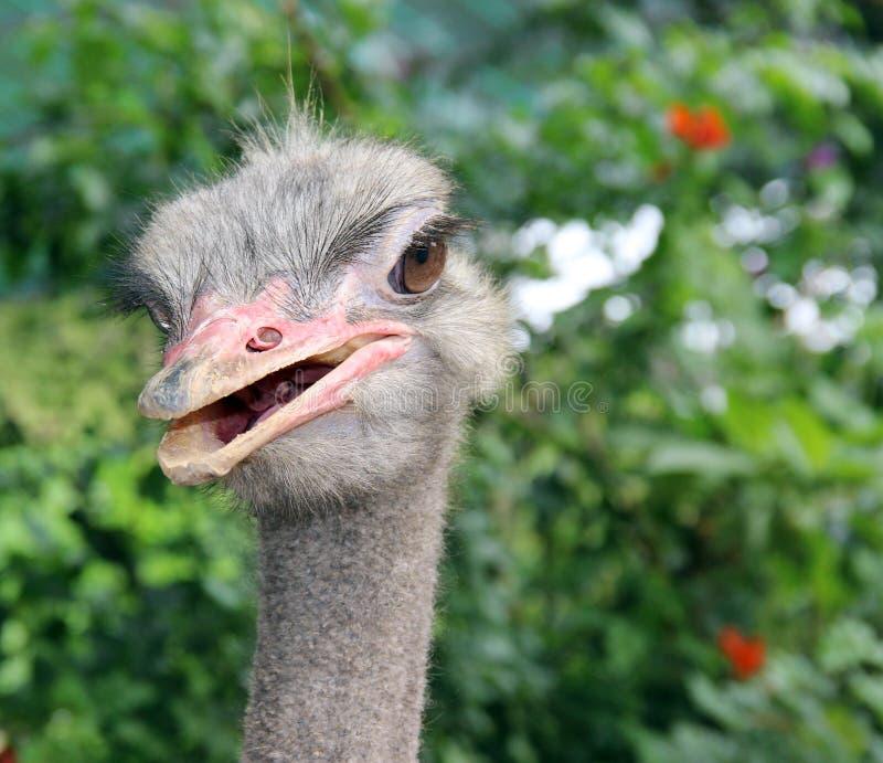De Struisvogel van de struisvogel head stock afbeelding