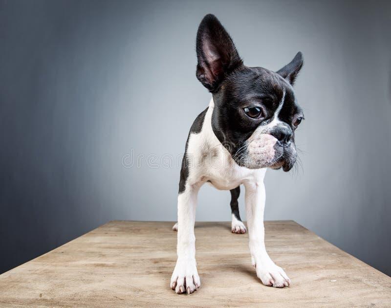 De Studioportret van Boston Terrier stock foto
