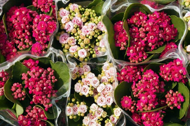 De succulente bloeiende installaties van Kalanchoekalanchoe Adans in de familie Crassulaceae Kalanchoe wordt algemeen gekocht tij royalty-vrije stock afbeelding
