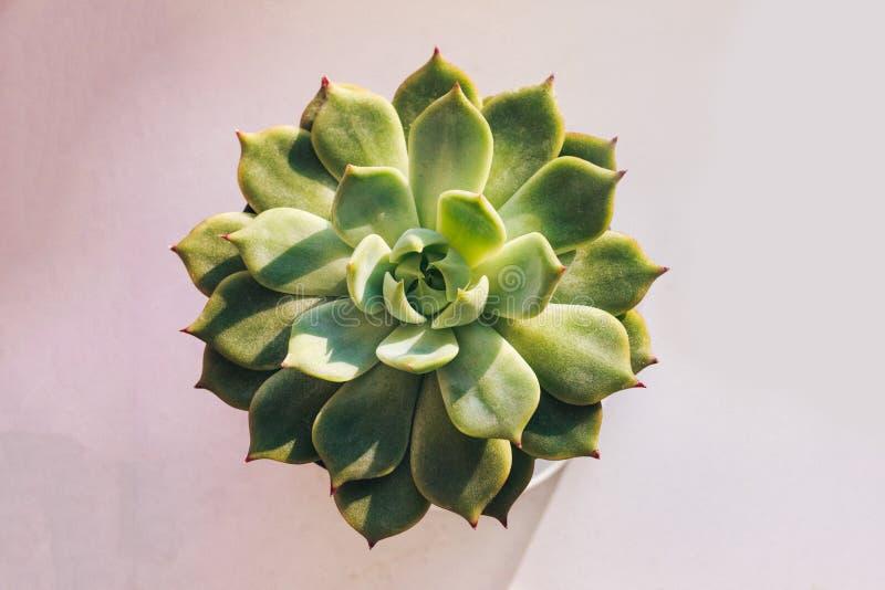 De succulente familie van installatie` Echeveria parva ` Crassulaceae van altijdgroene of vergankelijke installatie de van Amerik stock fotografie