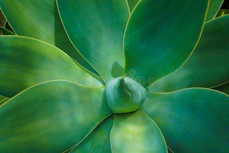 De Succulente Installatie van agaveattenuata stock afbeelding
