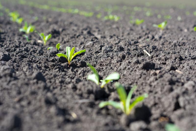 De suikerbiet jonge groei in de fase van vier bladeren in zelfs rijen op het gebied stock fotografie