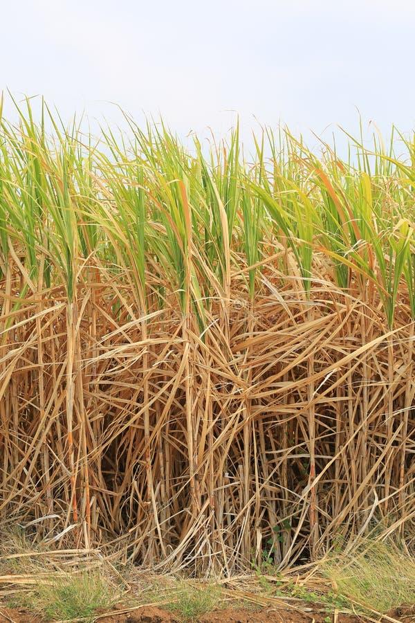 De suikerrietinstallaties groeien op gebied stock afbeelding