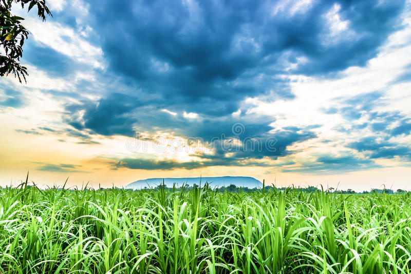 De suikerrietinstallaties groeien op gebied royalty-vrije stock afbeeldingen