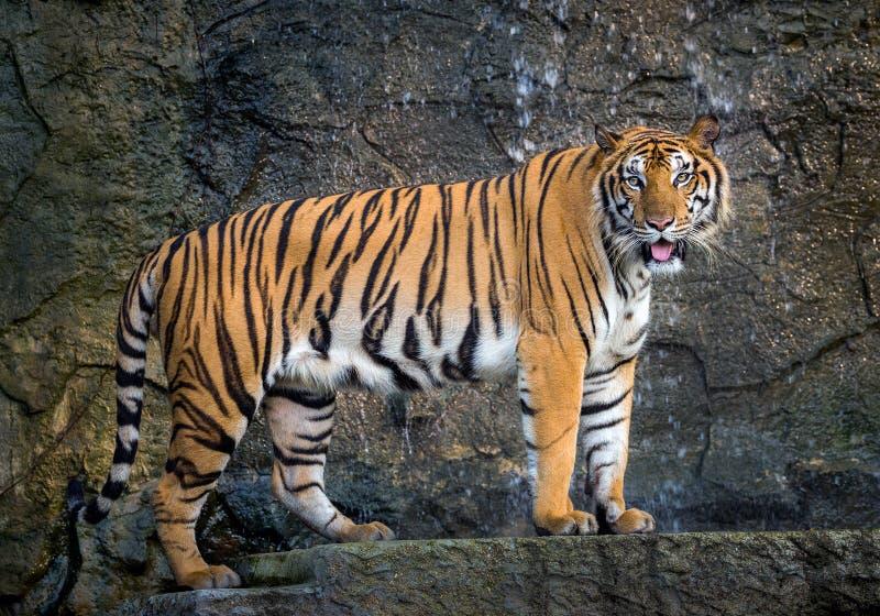 De Sumatratijger bevindt zich in de natuurlijke atmosfeer van de dierentuin stock foto